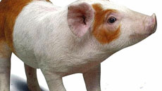 DNA Analysis service for Pork Industry